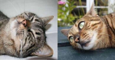 Ecco perché il vostro gatto strofina la testa contro di voi o contro le cose